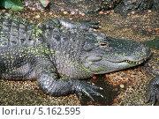 Крокодил в зоопарке. Стоковое фото, фотограф Natalia Arsenteva / Фотобанк Лори