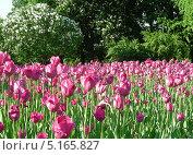 Розовые тюльпаны весной в парке Горького, Москва (2011 год). Стоковое фото, фотограф lana1501 / Фотобанк Лори