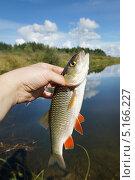 Пойманный голавль в руке на фоне реки. Стоковое фото, фотограф Dmitry29 / Фотобанк Лори