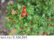 Хризантема садовая. Стоковое фото, фотограф Дарья Лондарева / Фотобанк Лори