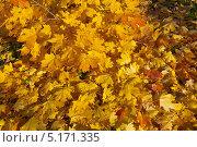 Купить «Осень. Кленовые листья», эксклюзивное фото № 5171335, снято 12 октября 2013 г. (c) Зобков Георгий / Фотобанк Лори