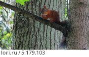 Купить «Белка на дереве в парке», видеоролик № 5179103, снято 3 октября 2013 г. (c) Михаил Коханчиков / Фотобанк Лори