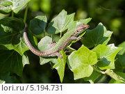 Ящерица на виноградной лозе. Стоковое фото, фотограф Коптева Зоя / Фотобанк Лори