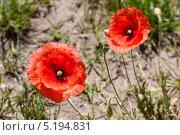 Два цветущих мака на песке. Стоковое фото, фотограф Коптева Зоя / Фотобанк Лори