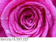 Розовая кустовая роза с капельками. Стоковое фото, фотограф Ekaterina Klementyeva / Фотобанк Лори