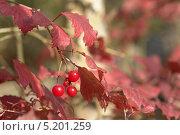 Сочная и красная, осенняя прекрасная ягодка. Стоковое фото, фотограф Вячеслав Сапрыкин / Фотобанк Лори