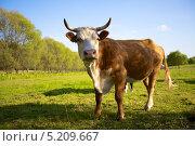 Корова рыжей масти на пастбище, Польша. Стоковое фото, фотограф Irina Kolokolnikova / Фотобанк Лори