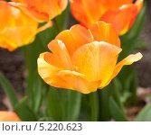 Купить «Желтый тюльпан», фото № 5220623, снято 4 мая 2013 г. (c) Татьяна Кахилл / Фотобанк Лори