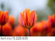 """Купить «Тюльпан сорта """"дневная мечта""""», фото № 5220635, снято 4 мая 2013 г. (c) Татьяна Кахилл / Фотобанк Лори"""