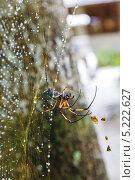 Купить «Паук в паутине после дождя. Сейшелы», фото № 5222627, снято 22 ноября 2019 г. (c) Mikhail Starodubov / Фотобанк Лори