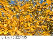 Купить «Желтые осенние листья Боярышника (лат. Crataegus)», эксклюзивное фото № 5223495, снято 13 октября 2013 г. (c) lana1501 / Фотобанк Лори