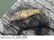 Купить «Карп в подсаке на деревянном помосте», фото № 5235255, снято 19 октября 2013 г. (c) Олег Пчелов / Фотобанк Лори
