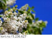 Купить «Белая сирень на фоне голубого неба», фото № 5236627, снято 15 мая 2012 г. (c) Яков Филимонов / Фотобанк Лори