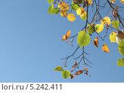 Купить «Осенние ольховые листья на фоне голубого неба», эксклюзивное фото № 5242411, снято 21 октября 2013 г. (c) Ирина Водяник / Фотобанк Лори