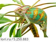 Йеменский хамелеон сидит на зелёном растении, белый фон. Стоковое фото, фотограф Павел Байшев / Фотобанк Лори