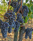 «Кровь Юпитера» - перевод названия винограда Санджовезе (Sangiovese), что выращивают близ Монтепульчано на холмах Тасканы, фото № 5252179, снято 28 сентября 2013 г. (c) Виктория Катьянова / Фотобанк Лори