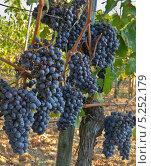 Купить ««Кровь Юпитера» - перевод названия винограда Санджовезе (Sangiovese), что выращивают близ Монтепульчано на холмах Тасканы», фото № 5252179, снято 28 сентября 2013 г. (c) Виктория Катьянова / Фотобанк Лори