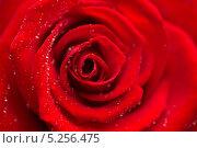 Купить «распустившаяся красная роза с капельками росы на лепестках», фото № 5256475, снято 21 ноября 2012 г. (c) Wavebreak Media / Фотобанк Лори