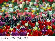 Тюльпаны. Стоковое фото, фотограф Денис Король / Фотобанк Лори