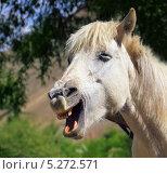 Белая смеющаяся лошадь. Стоковое фото, фотограф Наталия Давидович / Фотобанк Лори