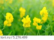 Купить «Цветы чины луговой (Lathyrus pratansis) на лугу», фото № 5276499, снято 12 июня 2013 г. (c) Татьяна Волгутова / Фотобанк Лори