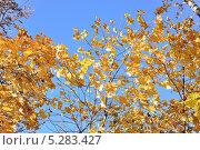Купить «Клён остролистный (Acer platanoides) осенью, на фоне голубого неба», эксклюзивное фото № 5283427, снято 13 октября 2013 г. (c) Алёшина Оксана / Фотобанк Лори