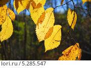 Купить «Желтые листья Вяза (Ulmus) осенью», фото № 5285547, снято 13 октября 2013 г. (c) Алёшина Оксана / Фотобанк Лори