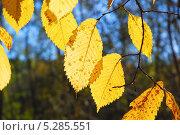 Купить «Красивые листья Вяза или Ильма (Ulmus)», фото № 5285551, снято 13 октября 2013 г. (c) Алёшина Оксана / Фотобанк Лори