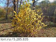 Купить «Орешник или лещина (Corylus) в осеннем лесу», эксклюзивное фото № 5285835, снято 13 октября 2013 г. (c) Алёшина Оксана / Фотобанк Лори