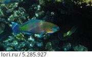Купить «Рыба Попугай. Красное море», фото № 5285927, снято 19 сентября 2010 г. (c) Алексей Сварцов / Фотобанк Лори