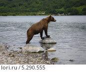 Сибирский медведь. Стоковое фото, фотограф АЛЕКСАНДР ЖАРКОВ / Фотобанк Лори