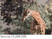 Жираф. Стоковое фото, фотограф Рогов Алексей / Фотобанк Лори