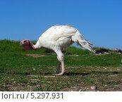 Купить «Индейка обыкновенная (Meleagris gallopavo)», эксклюзивное фото № 5297931, снято 22 мая 2010 г. (c) lana1501 / Фотобанк Лори