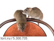 Купить «Две серых крысы», фото № 5300735, снято 24 ноября 2013 г. (c) Argument / Фотобанк Лори