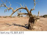 Купить «Вид на мертвые деревья в центральной части пустыни Намиб на территории национального парка Намиб Науклюфт (Namib Naukluft), Намибия», фото № 5301611, снято 18 июня 2013 г. (c) Николай Винокуров / Фотобанк Лори