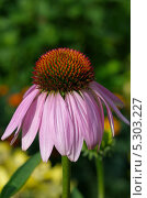 Купить «Эхинацея пурпурная (Echinacea purpurea) крупным планом», эксклюзивное фото № 5303227, снято 16 июля 2013 г. (c) Елена Коромыслова / Фотобанк Лори