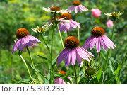Купить «Эхинацея пурпурная (Echinacea purpurea)», эксклюзивное фото № 5303235, снято 23 июля 2013 г. (c) Елена Коромыслова / Фотобанк Лори