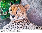 Купить «Гепард отдыхает в тени», фото № 5303863, снято 12 августа 2010 г. (c) Алексей Попов / Фотобанк Лори