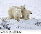Купить «Белые медведи», фото № 5338687, снято 9 ноября 2013 г. (c) Максим Деминов / Фотобанк Лори