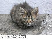 Маленький серый котенок сидит на куске рубероида и смотрит на зрителя. Стоковое фото, фотограф Андрей Кондратюк / Фотобанк Лори