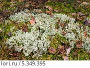 Купить «Белый мох в осеннем лесу», фото № 5349395, снято 19 ноября 2013 г. (c) Александр Романов / Фотобанк Лори
