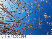 Взгляд снизу на пшеничные колосья. Стоковое фото, фотограф Фоменко Наталья / Фотобанк Лори