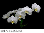 Купить «Белые цветы орхидеи на черном фоне», фото № 5353151, снято 8 декабря 2013 г. (c) Ласточкин Евгений / Фотобанк Лори