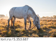 Купить «Лошадь, пасущаяся на поле», эксклюзивное фото № 5353687, снято 4 октября 2013 г. (c) Литвяк Игорь / Фотобанк Лори
