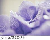 Купить «Сиреневая гортензия», фото № 5355791, снято 20 июля 2012 г. (c) Светлана Мамонтова / Фотобанк Лори