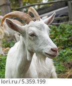 Купить «Белая коза», фото № 5359199, снято 14 сентября 2013 г. (c) Любовь Назарова / Фотобанк Лори