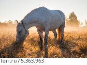Купить «Лошадь, пасущаяся на поле на фоне закатного солнца», эксклюзивное фото № 5363963, снято 4 октября 2013 г. (c) Литвяк Игорь / Фотобанк Лори
