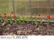 Тюльпаны в теплице. Стоковое фото, фотограф Александр Первунин / Фотобанк Лори
