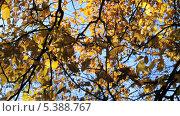 Купить «Вяз, или ильм (Ulmus) на ветру», эксклюзивный видеоролик № 5388767, снято 14 декабря 2013 г. (c) Алёшина Оксана / Фотобанк Лори