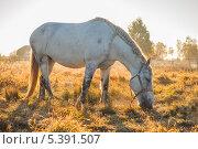 Купить «Лошадь, пасущаяся на поле», эксклюзивное фото № 5391507, снято 4 октября 2013 г. (c) Литвяк Игорь / Фотобанк Лори